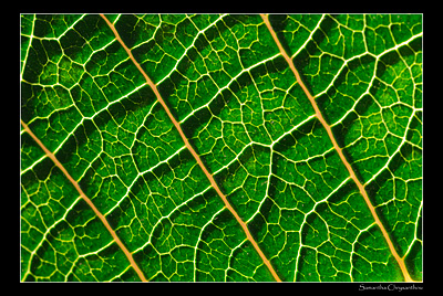 Poinsietta leaf
