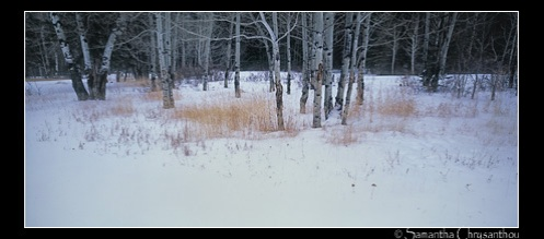 Trees and grass in winter, Kootenay Plains, Alberta