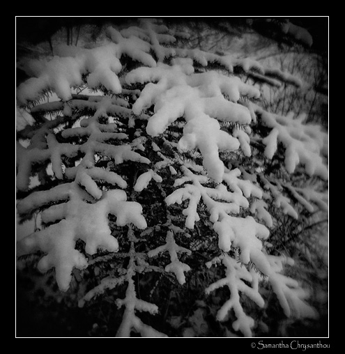 snow covered spruce branches
